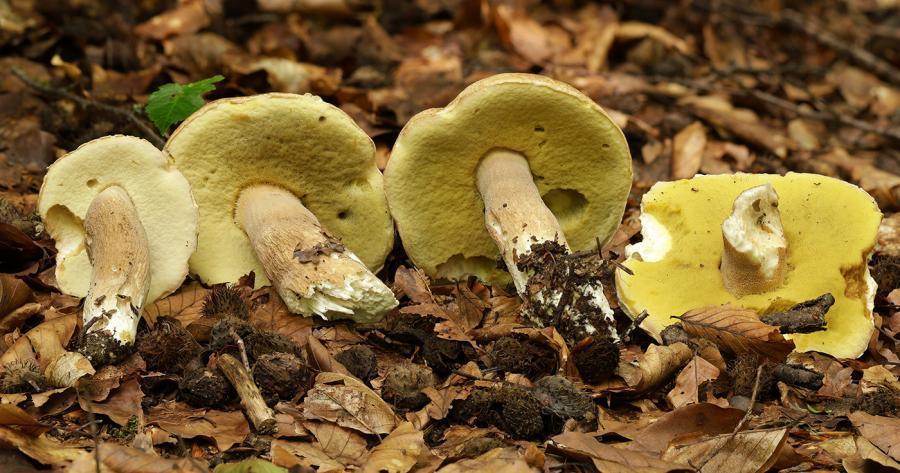 Auf dem Bild sehen sie typische Pilzfunde im Juni 2021: Sommersteinpilze