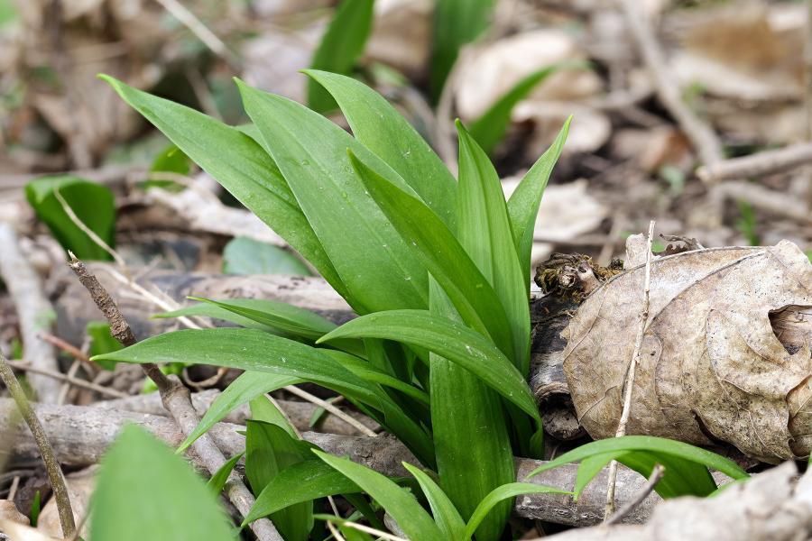 Auf diesem Bild ist Bärlauch zu sehen, eine der bekannteren essbaren Wildpflanzen