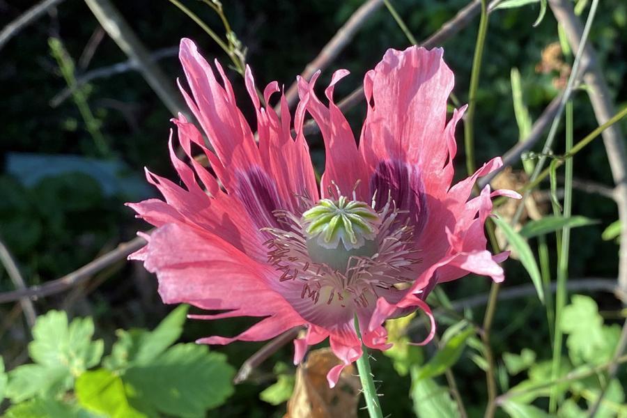 Auf diesem Bild ist eine Schlafmohn-Blüte zu sehen. Schlafmohn darf nicht gesammelt werden!