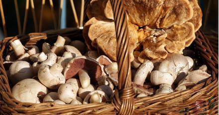 Ein Pilzkorb mit Wiesenchampignons und einem Riesenporling.