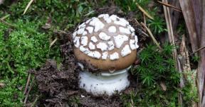 Pilzbestimmung bei Pilzvergiftungen