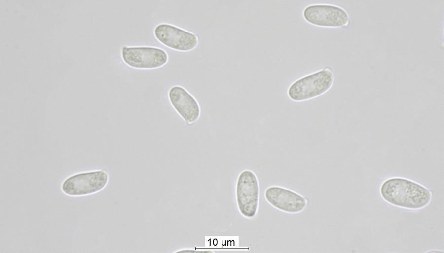 Sporen des Austernseitlings