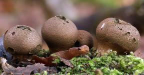 Pilze im Winter 2020/2021 - Pilzfunde mit Bildern